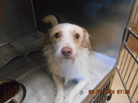 Terrier mix M wht fawn