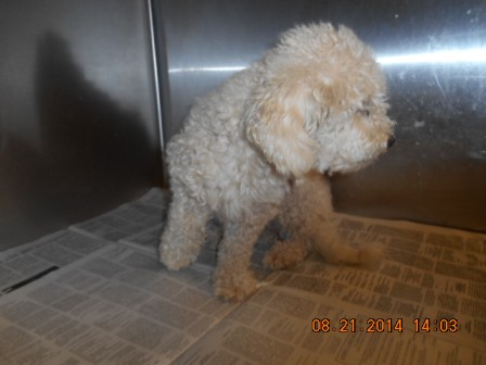 Poodle mix male white