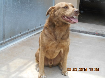 mix breed Male brown