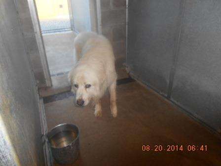Great Pyrenees mix M wht